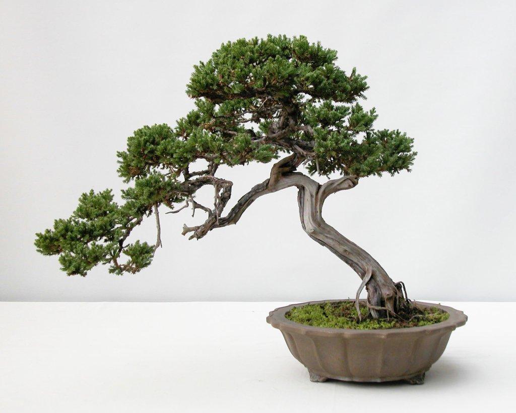 La imagen tiene un atributo ALT vacío; su nombre de archivo es bonsai-4.jpeg